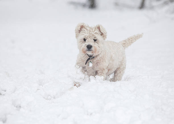 Small white dog in the snow stock photo