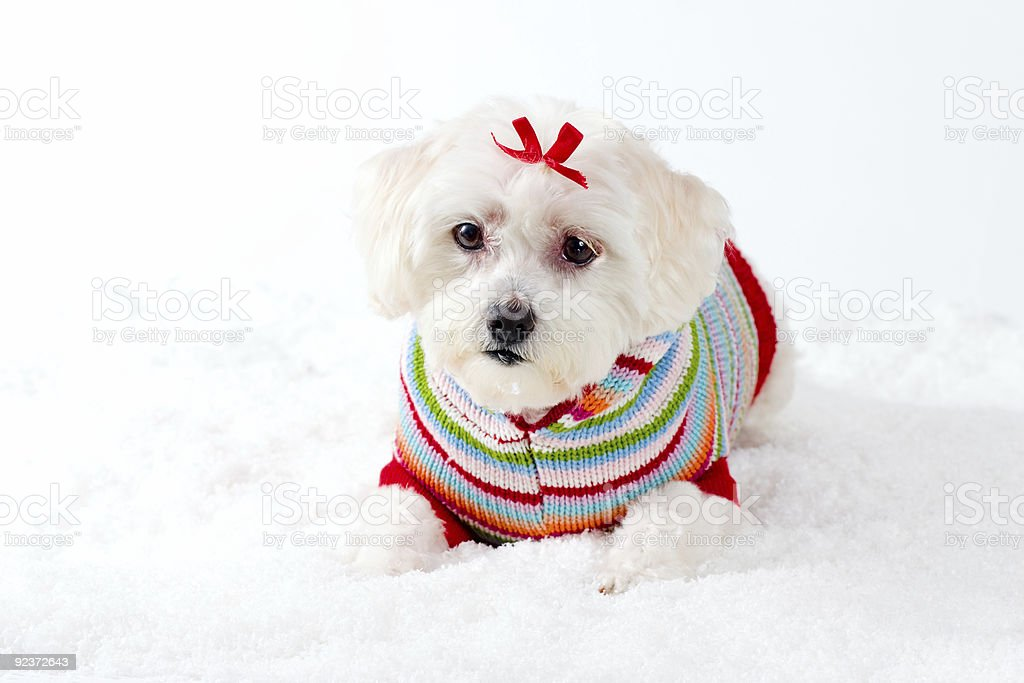 Small White Dog in Winter Scene royalty-free stock photo