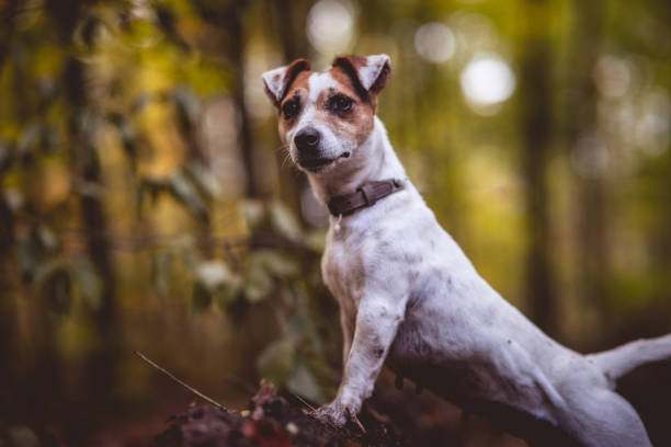 Small white dog Jack Russell terrier beautifully poses for a portrait in the autumn forest. Blurred background and autumn colors, green, yellow, orange, gold.