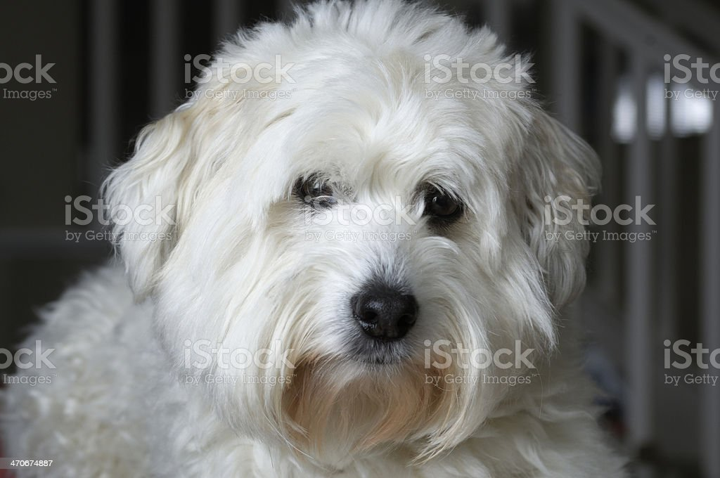 Small White Dog Resting on Chair royalty-free stock photo