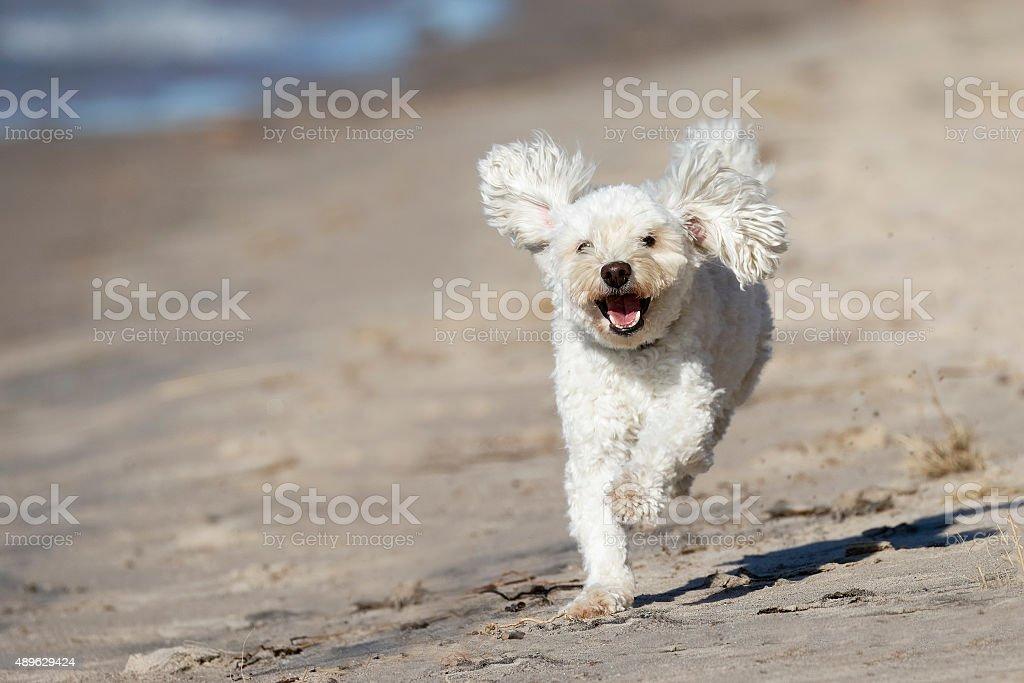 Small White Dog Running on a Sandy Beach stock photo