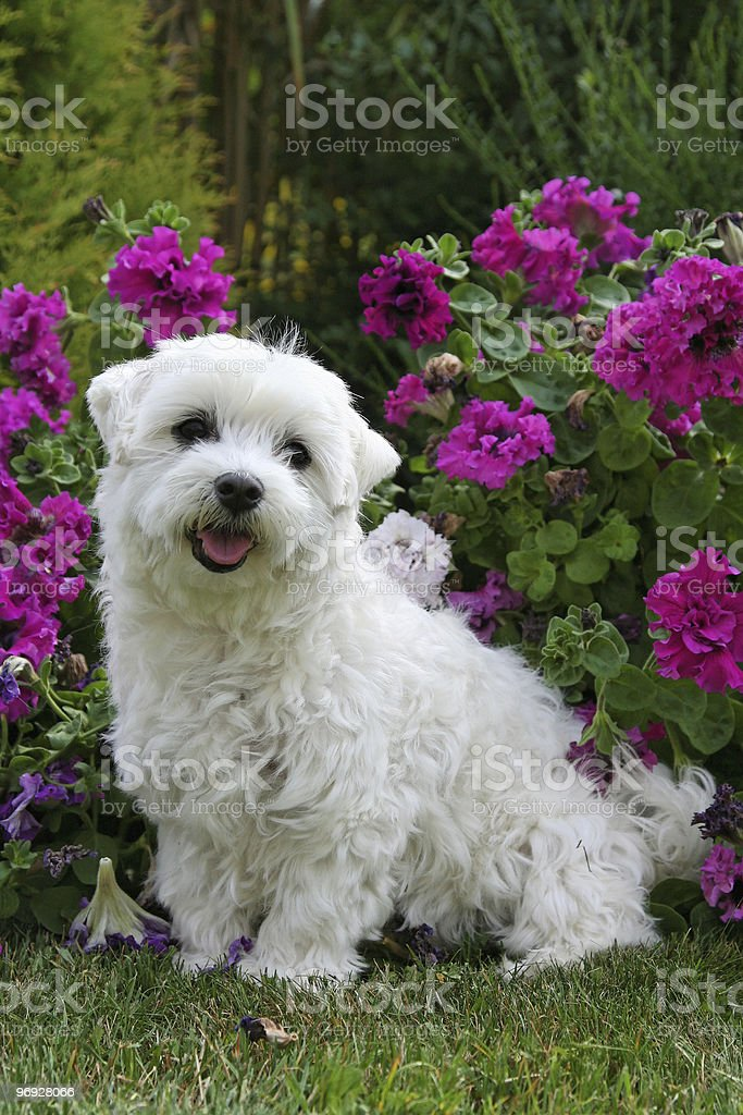 Small white dog with flowers royalty-free stock photo