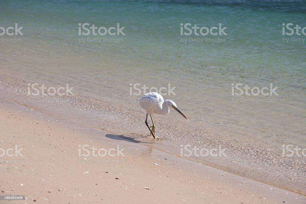 Small White egret on the egyptian beach stock photo