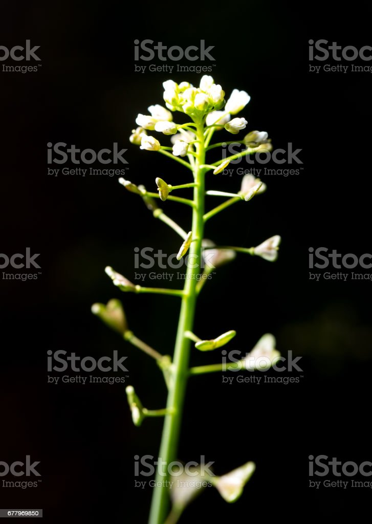 Small white flower on a black background royalty-free stock photo