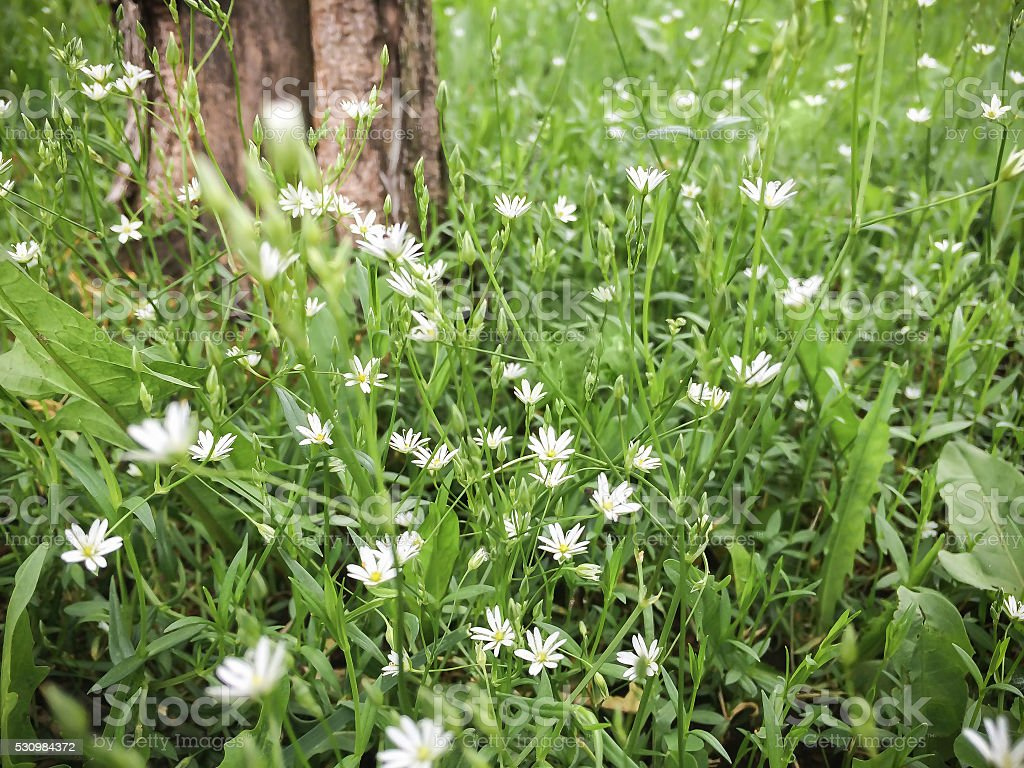 Small White Flowers Blooming In The Grass Stock Photo More