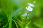 Small white flowers chickweed or Cerastium arvense on meadow. Cerastium is a genus of herbaceous plants