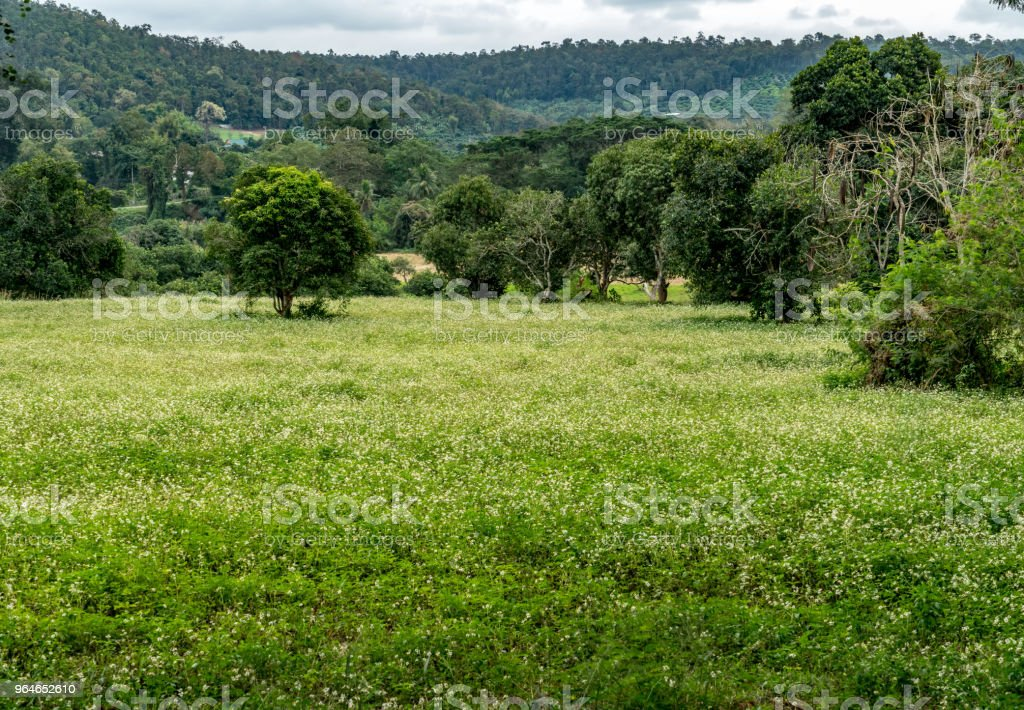Small white flowers field with green trees royalty-free stock photo