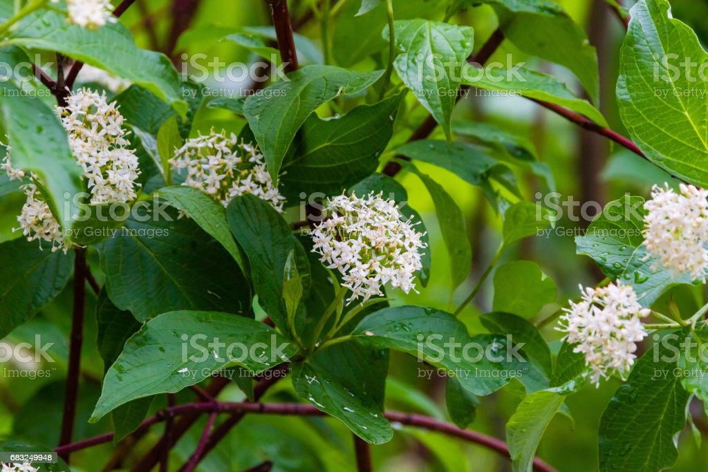 Small white flowers of an unknown shrub stock photo more pictures small white flowers of an unknown shrub royalty free stock photo mightylinksfo