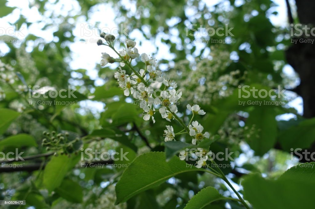 Small white flowers of prunus serotina tree stock photo more small white flowers of prunus serotina tree royalty free stock photo mightylinksfo