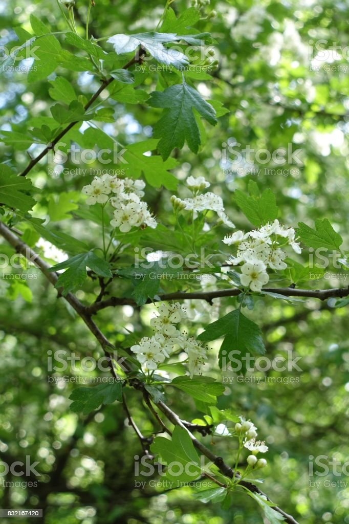 Small white flowers of thornapple in spring stock photo