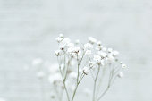 Small white flowers on an abstract background. gypsophila flower (Baby's-breath flowers)