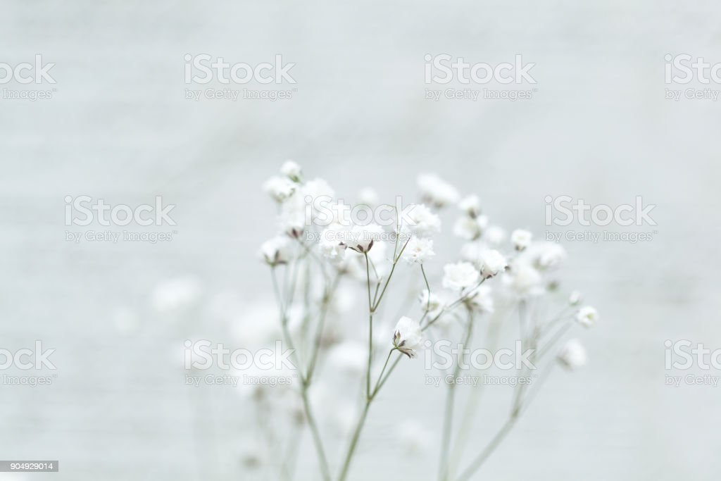 Small white flowers on an abstract background. gypsophila flower (Baby's-breath flowers) stock photo