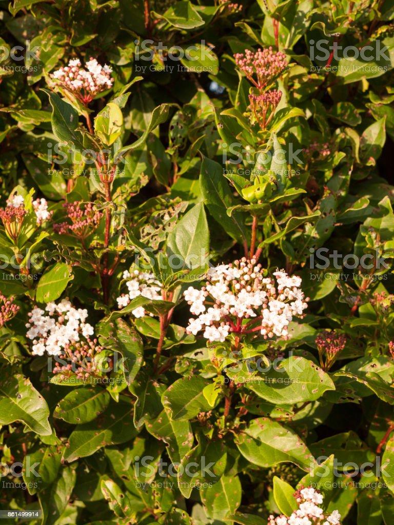 Small White Flowers Up Close Soft Light Bush Garden Stock Photo