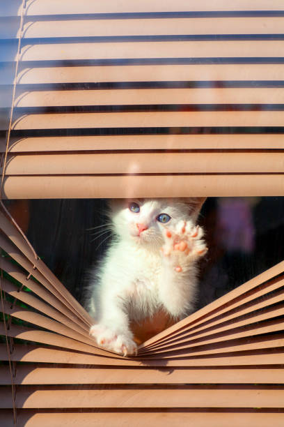 Small white kitten in the blinds on the window picture id877382750?b=1&k=6&m=877382750&s=612x612&w=0&h=oatpl u cp4qlt3miyld3axwpkc nesbguctcn5dkoy=