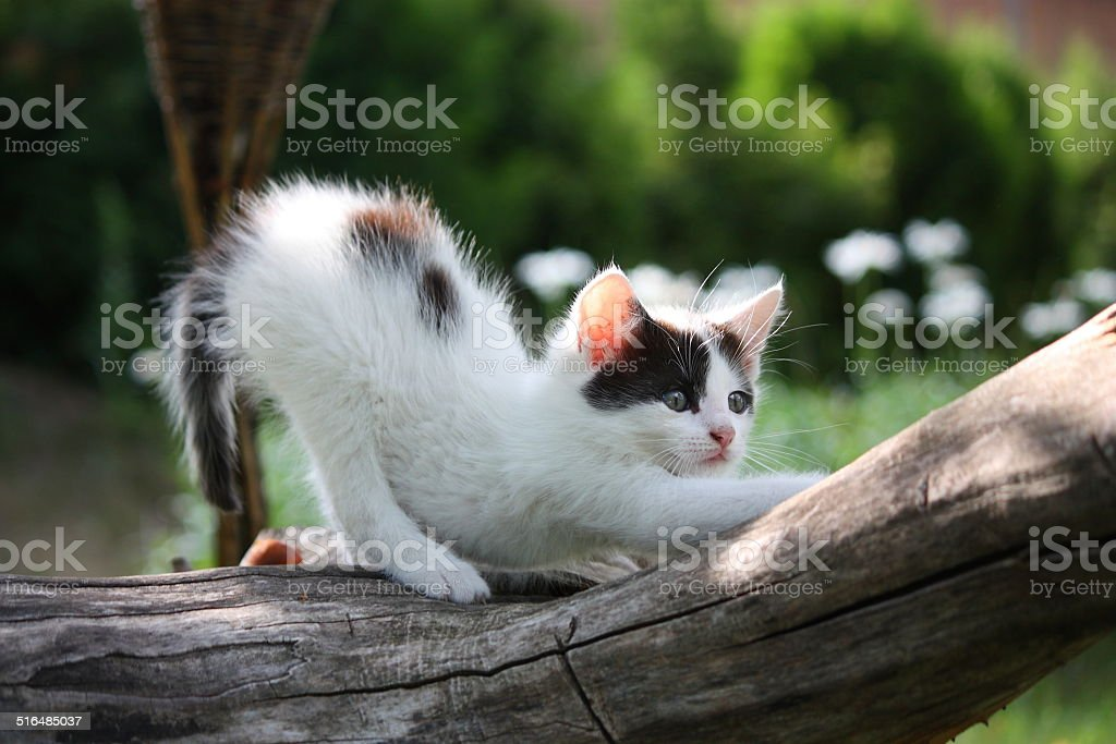 Small white kitten scratching tree branch stock photo