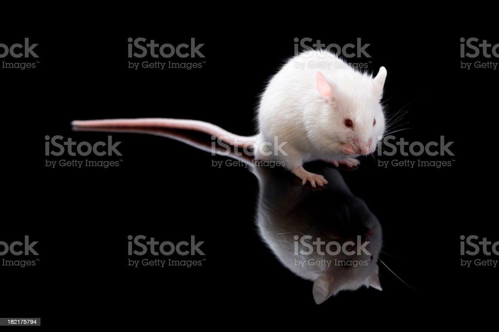 Small white mouse stock photo
