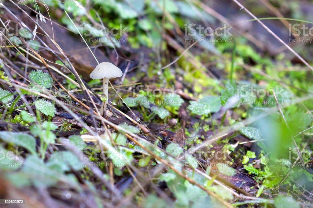 Pequeña seta blanco crece en el suelo. - foto de stock