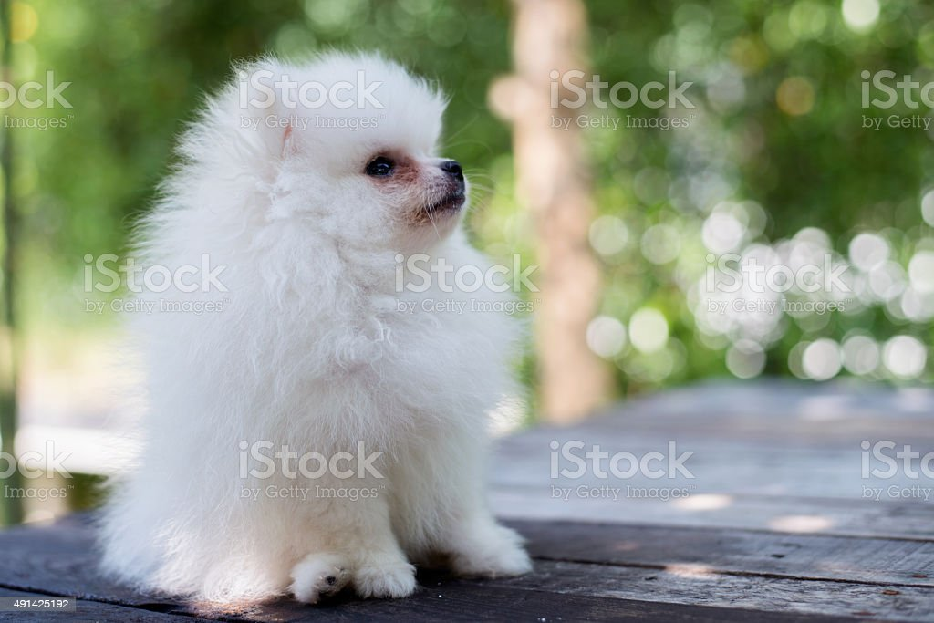 Small White Pomeranian Dog Stock Photo More Pictures Of 2015 Istock
