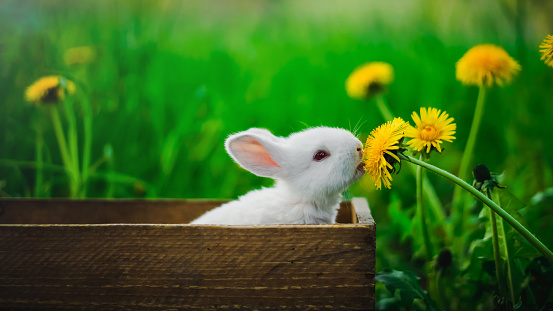istock A small white rabbit is sitting in a box and eating a yellow dandelion, against a background of green grass in the garden. Conception: Hungry rabbit. 678602362