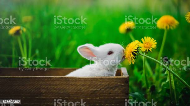 Small white rabbit is sitting in a box and eating a yellow dandelion picture id678602362?b=1&k=6&m=678602362&s=612x612&h=u2gsidvum9lxtdsuitsrkzxe4cqghqfabcizz4fyzjo=