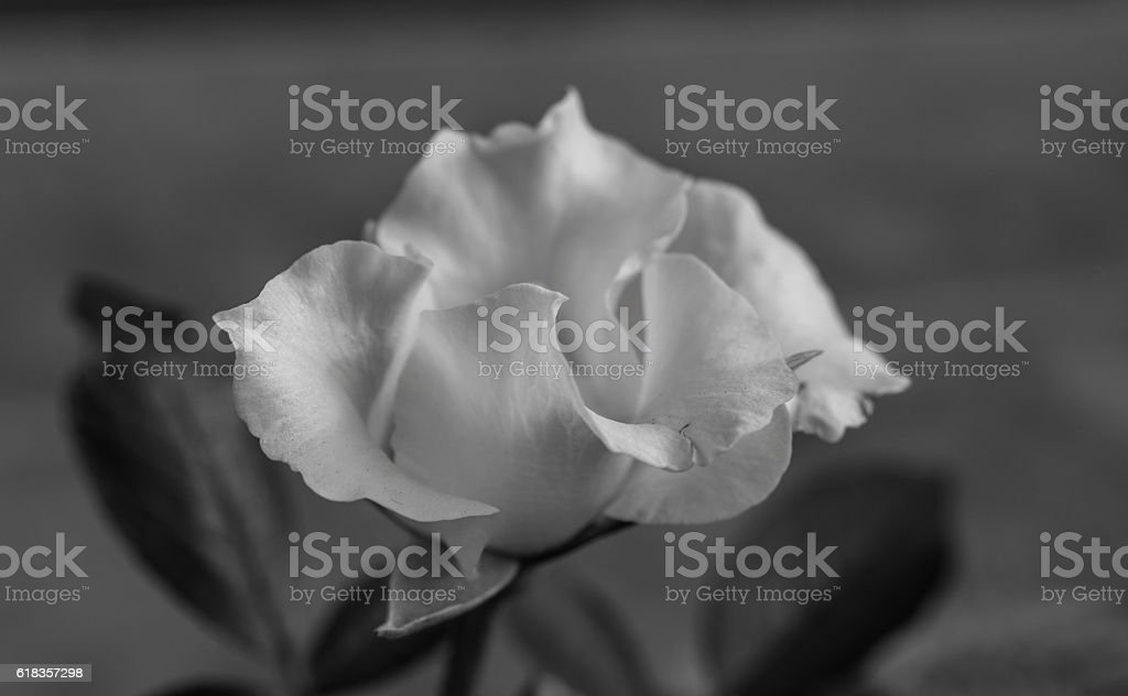 small white rose bloom black and white royalty-free stock photo