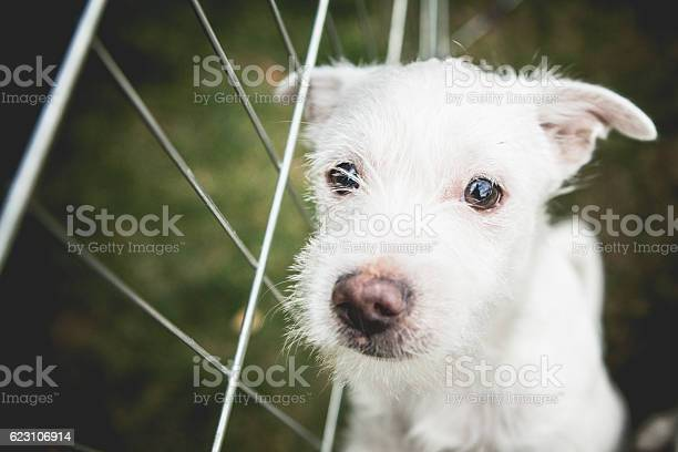 Small white shelter dog terrier mix picture id623106914?b=1&k=6&m=623106914&s=612x612&h=s rp rnyv721z28fuyidkubylmhalotytijgdqtozfu=