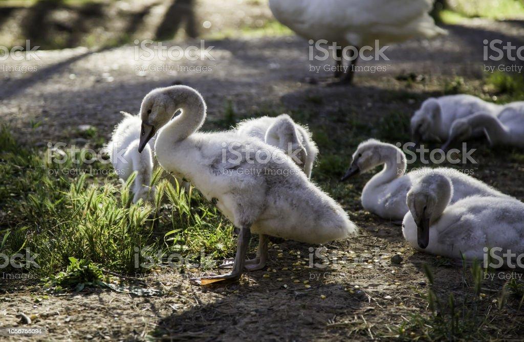 Small white swans stock photo