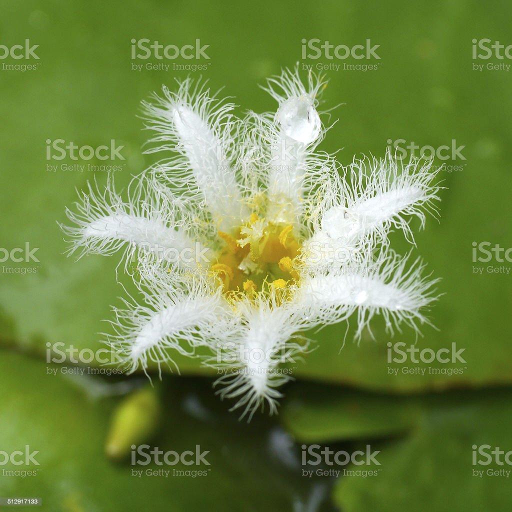 Small white water lily flower stock photo more pictures of asia small white water lily flower royalty free stock photo izmirmasajfo