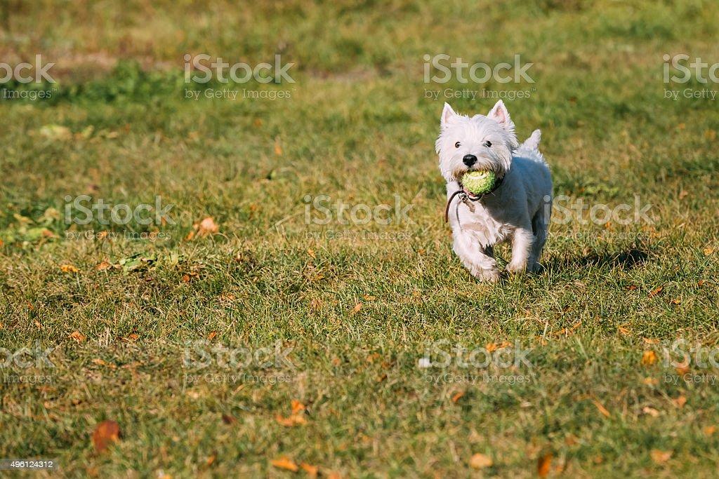 Small White West Highland White Terrier - Westie, Westy Dog stock photo