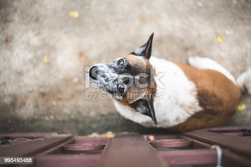 istock Small white-brown dog is staring with friendly eyes. 995493488