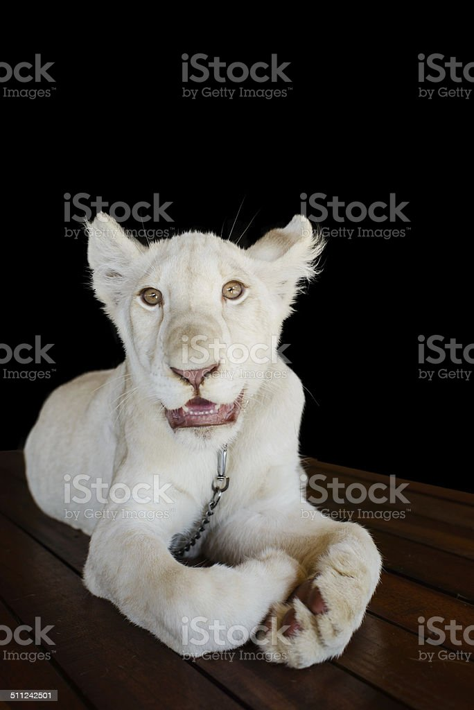 Small wiit Lion isolated on black. stock photo