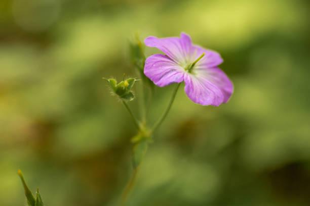 Small Wild Geranium Smoky Mountains stock photo
