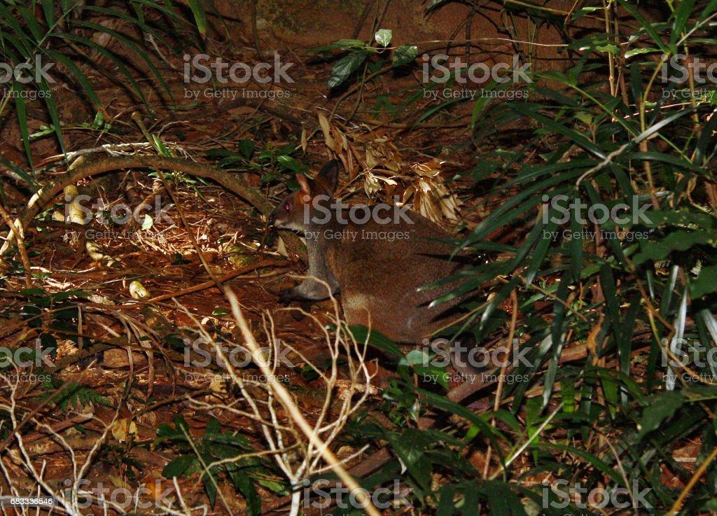 Small wild kangaroo pademelon in the park, Sunshine Coast royalty-free stock photo