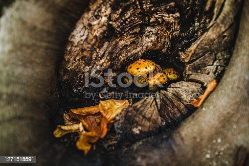 A couple of small wild yellow mushrooms and a leaf at the tree trunk