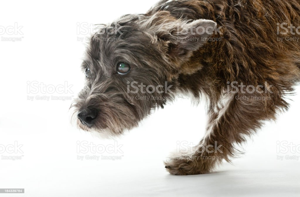 Small Worried Looking Mixed Breed Dog royalty-free stock photo