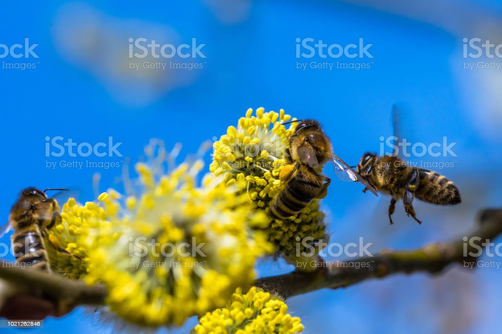 Small yellow bee pollinating a white spring blossom stock photo