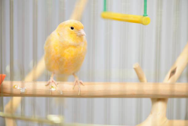 canario amarillo pequeño - foto de stock