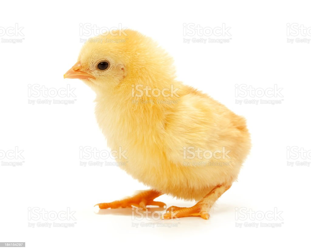 Small yellow chickens on a white background. stock photo