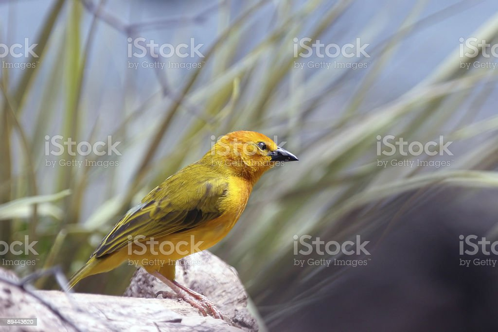 Small yellow finch royalty-free stock photo