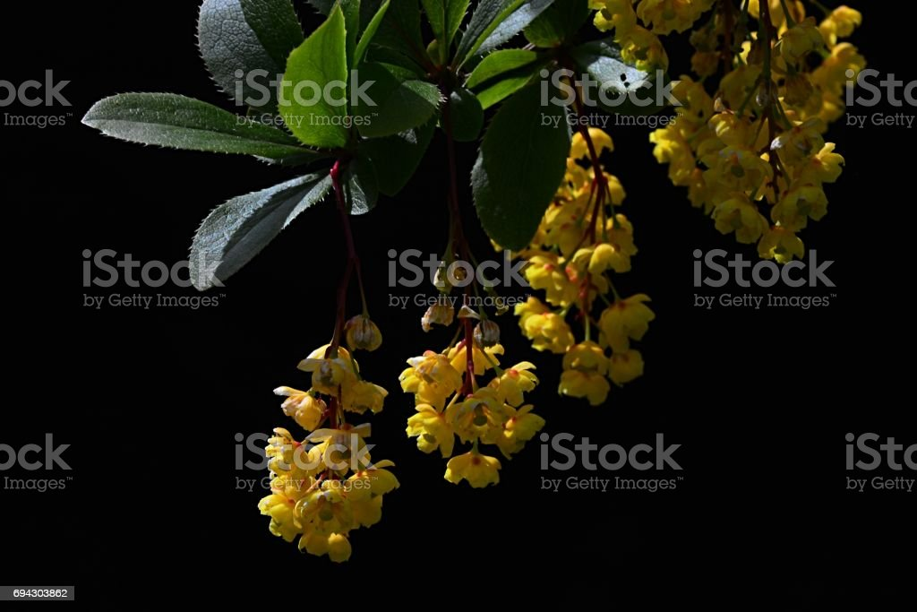 Small yellow flowers and young leaves of Barberry Berberis Sieboldii on dark background stock photo