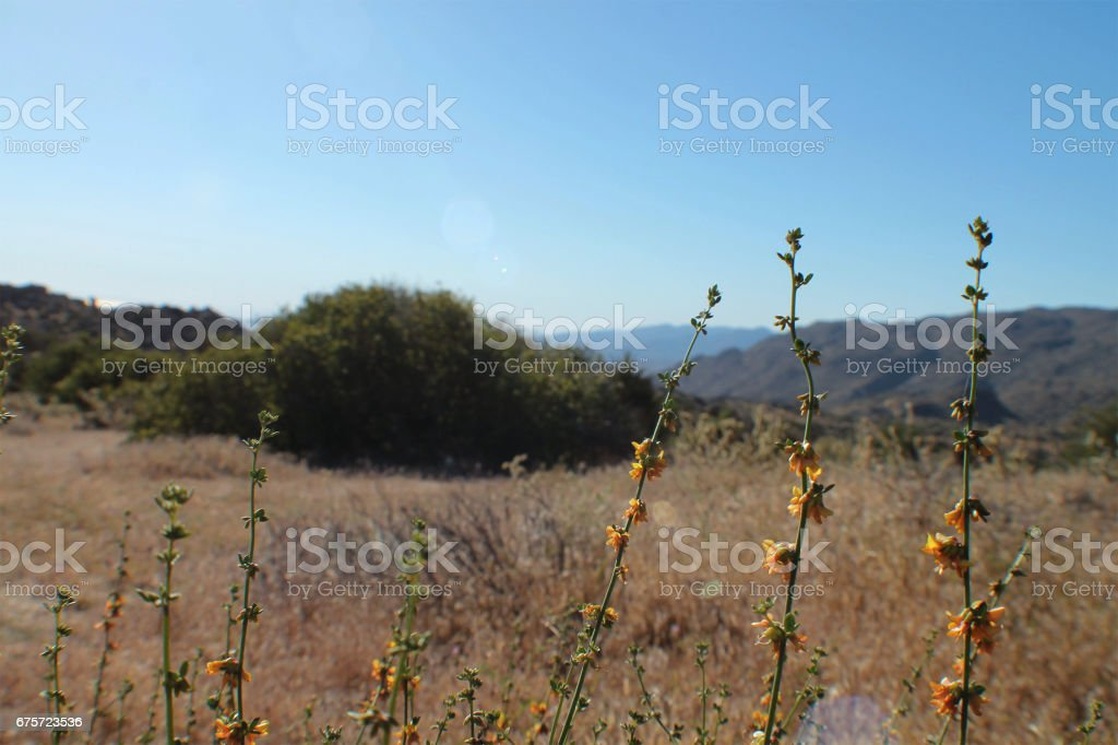Small Yellow Flowers in the Desert stock photo