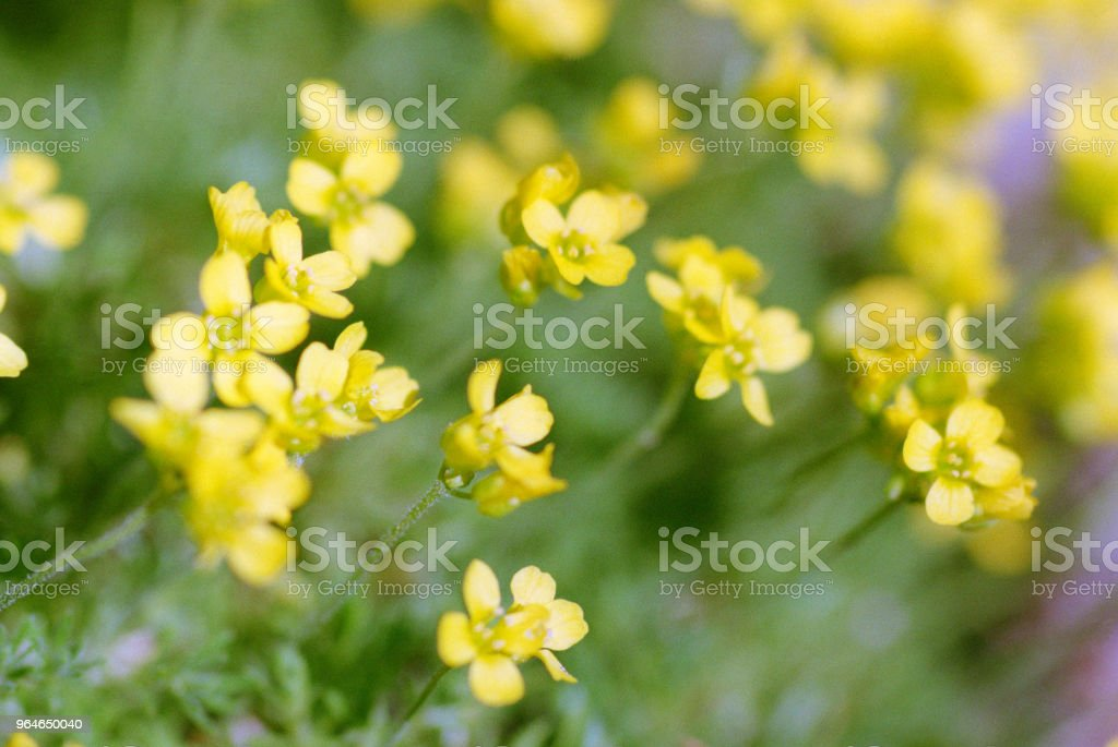 Small yellow flowers. Shot on film royalty-free stock photo
