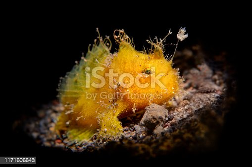 A small, yellow frogfish on the sandy bottom of Bali, Indonesia is lit with a snoot and shows the fishing lure it uses to hunt for other tiny fish.