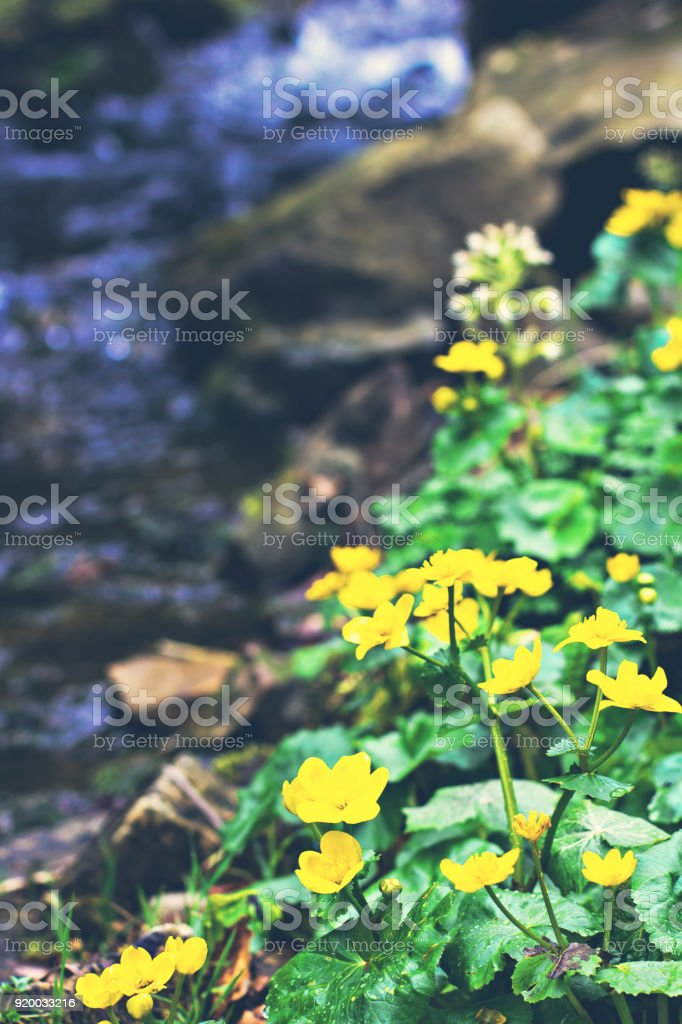Small, yellow spring flowers in the mountains. stock photo