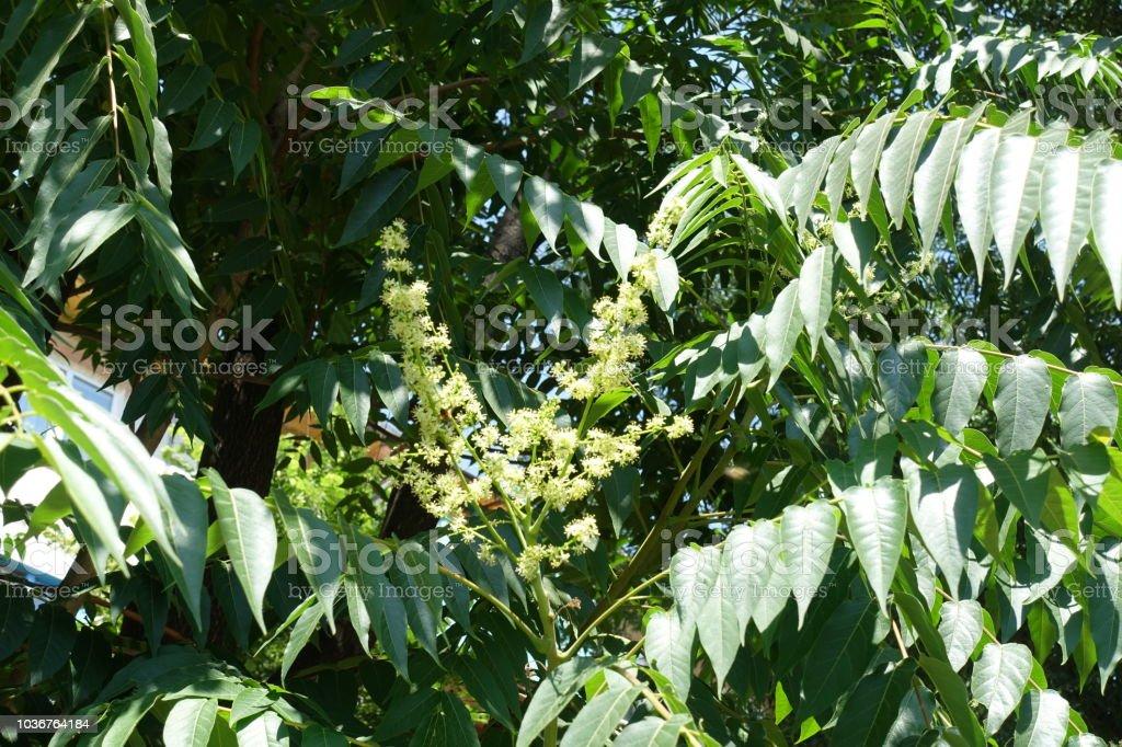 Kleine gelbliche Blüten von GГ¶tterbaum Altissima im Juni – Foto