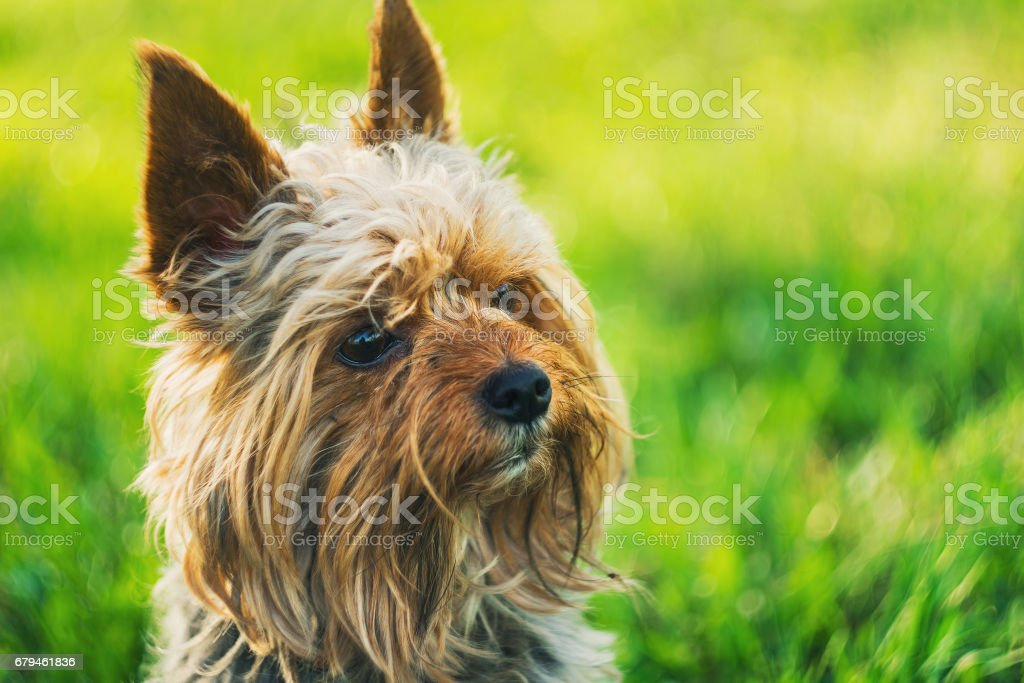 Small Yorkshire terrier on green nature backgrounds royalty-free stock photo