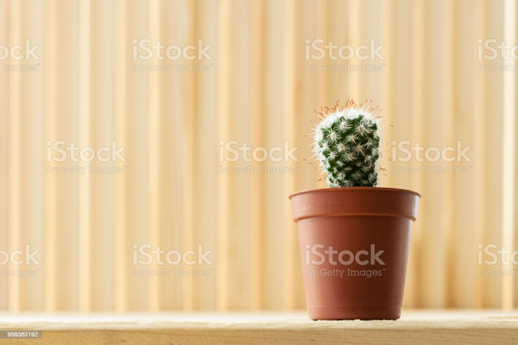 Small young echinocereus cactus in brown pot on light striped wooden background with copy space. stock photo
