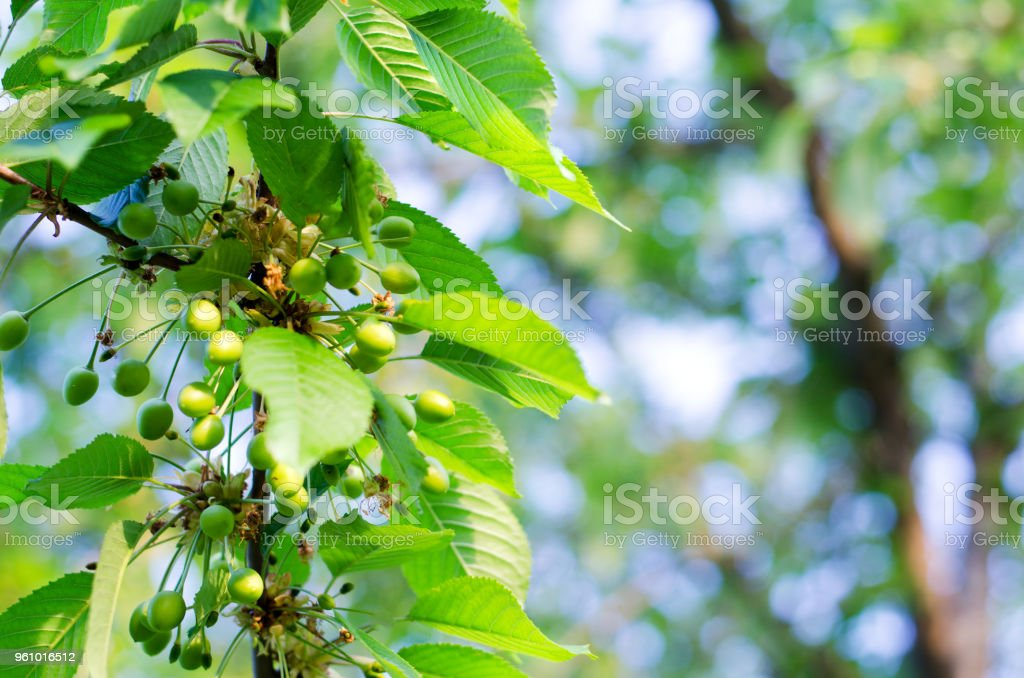 Small young ovaries of cherries. The concept of gardening, DIY, growing fruit, non-GMO, naturalness and usefulness stock photo