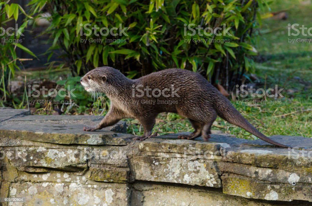 Small-Clawed Otter royalty-free stock photo