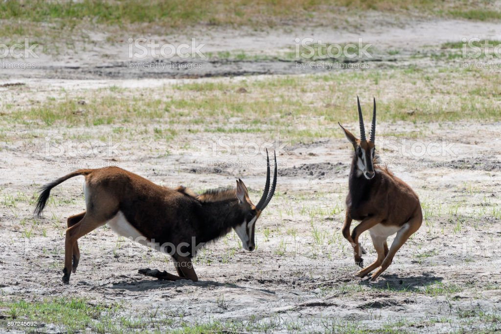 Smaller Male Sable Antelope Retreating from a Mock Duel in Hwange National Park, Zimbabwe stock photo